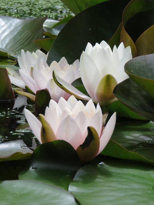 Pond, Water Lily, Flower, Water Plant, Blossom, Water