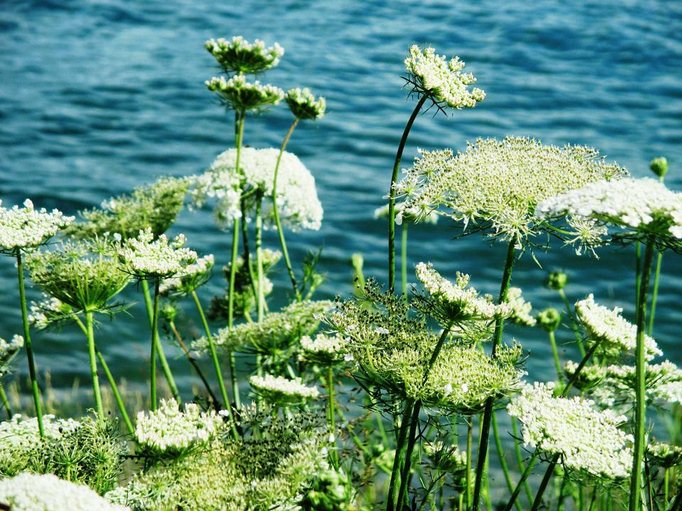 Chervil, Grassland Plants, Flowers, White, Water, Lake