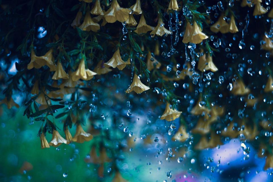 Yellow Bells, Flowers, Raindops, Rain, Bloom, Water