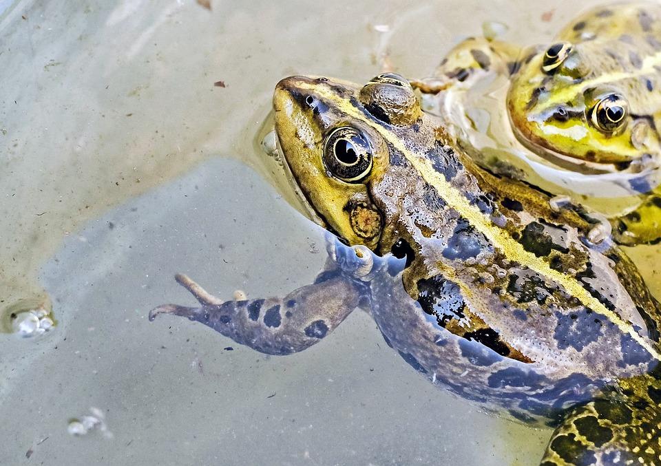 Frog, Water Frog, Animal, Green, Water, Close Up
