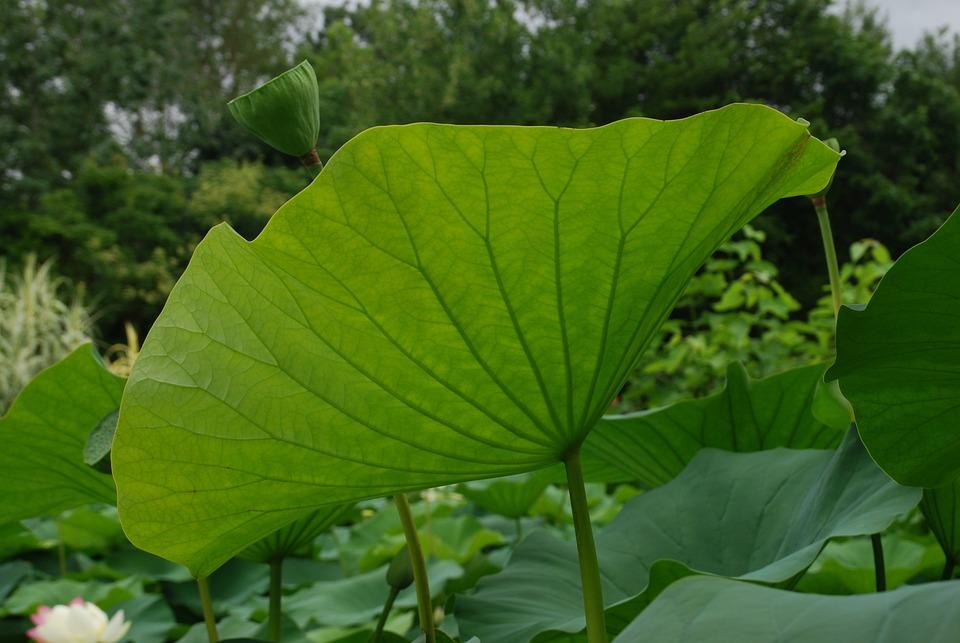 Leaf, Lotus, Water Garden