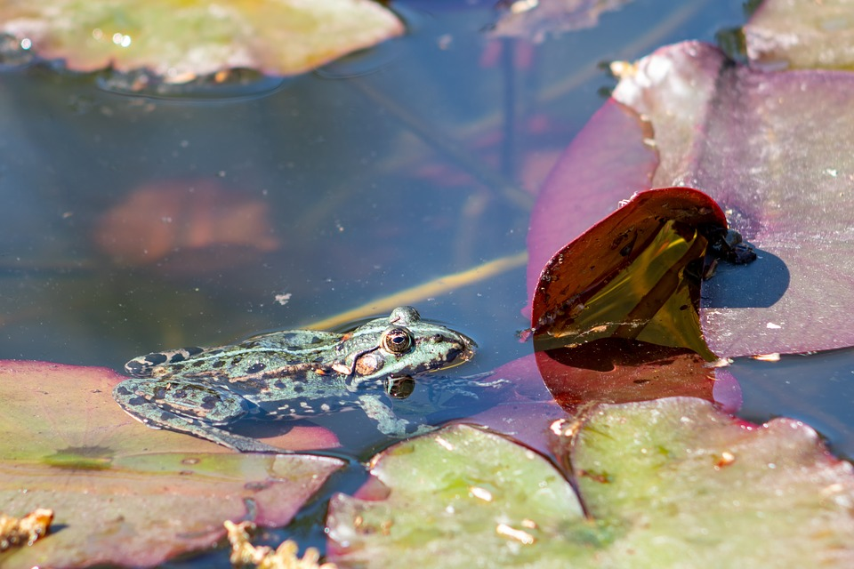 The Frog, Pond, Water, Animal, Green, Amphibian, Nature