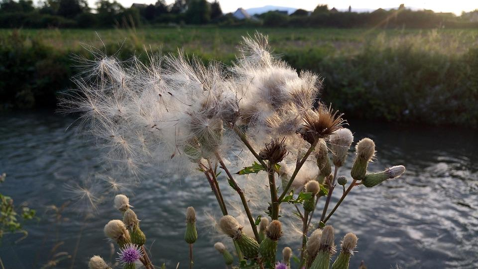 Herbs, Thistle, Summer, Sky, Water