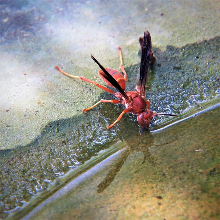 Wasp, Red, Insect, Water, Winged