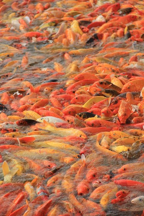 Koi, Fish, Koi Fish, Pond, Water, Carp, Japanese