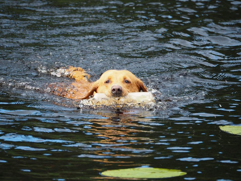 Dog, Swimming, Labrador, Water, Rapporteur