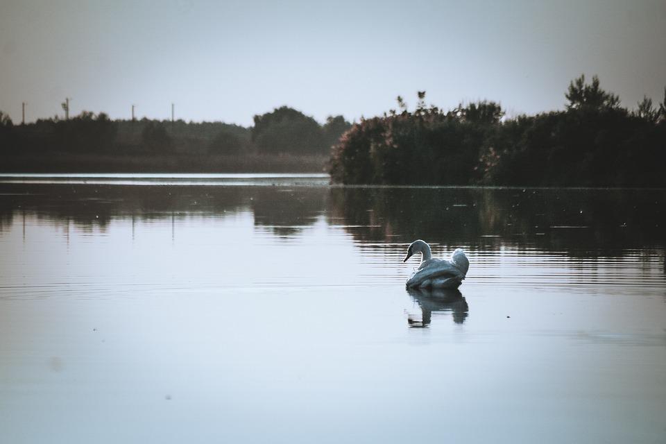 Swan, Lake, Bird, Feathers, Water, Animal, Nature, Swim