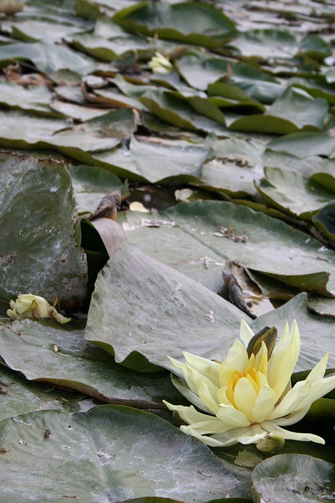 Water, Lily, Water Lilies, Aquatic Plant, Floral, Plant
