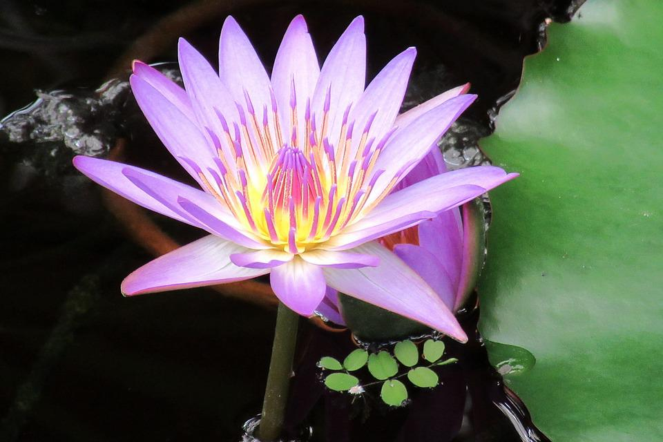 Lily, Water Lilies, Aquatic Plant