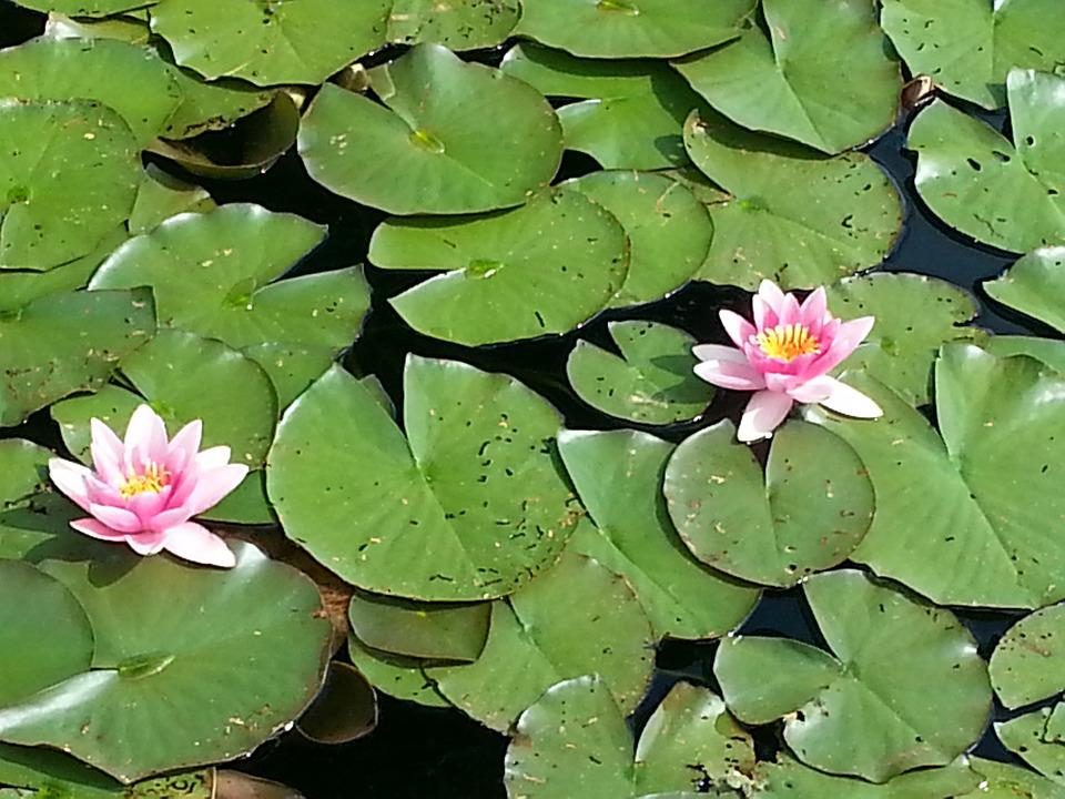 Water Lilies, Flower, Water Flowers, Summer Pictures