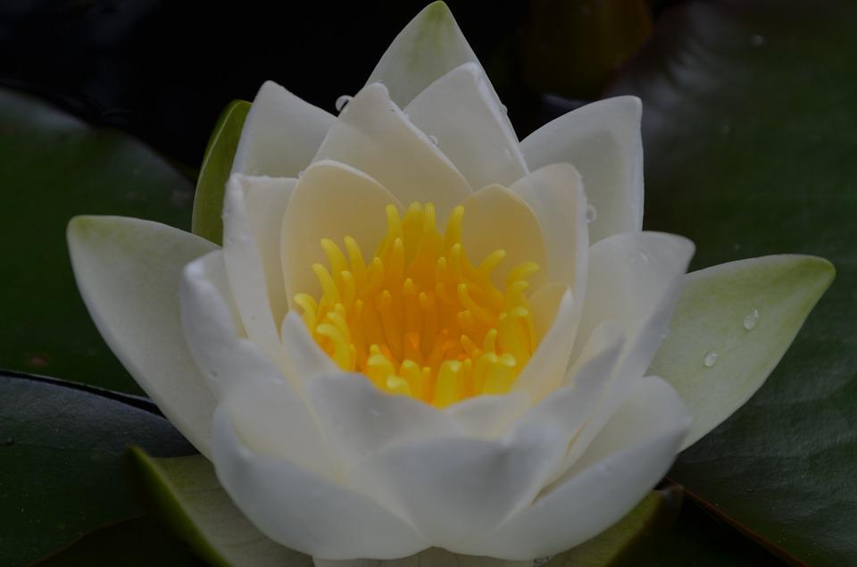 Water Lily, White Flower, Aquatic Plant, Incomplete