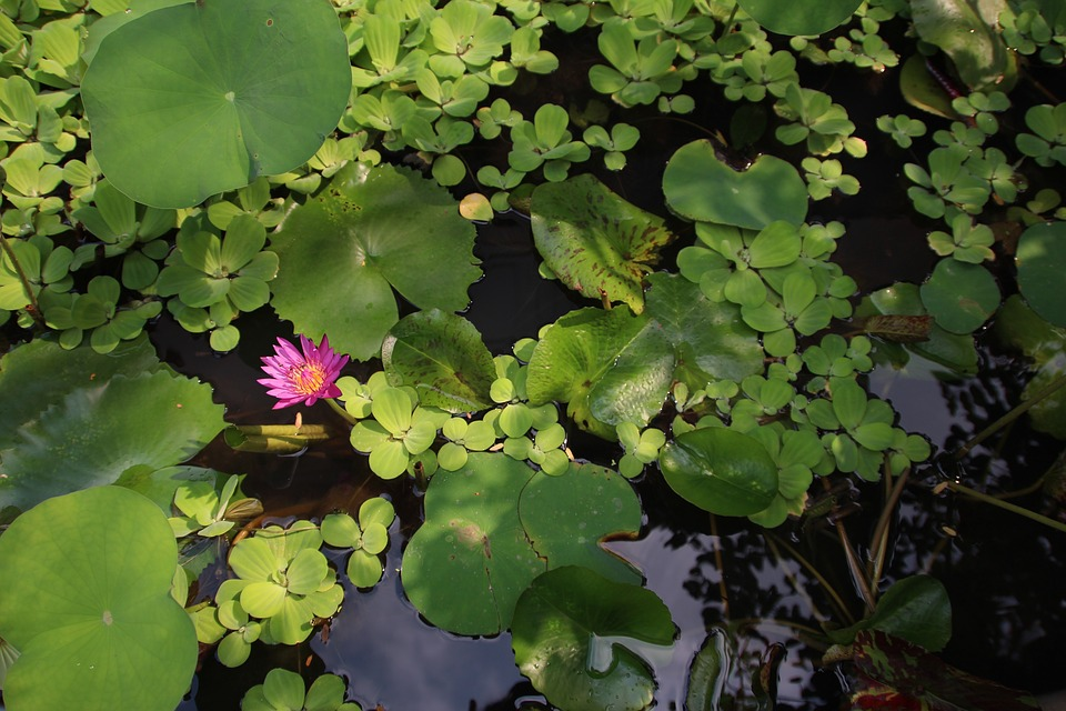 Lotus, Blossom, Bloom, Aquatic Plant, Water Lily, Pink