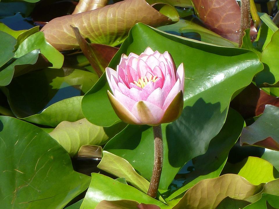 Water Lily, Pink, Blossom, Bloom, Lake Rosengewächs