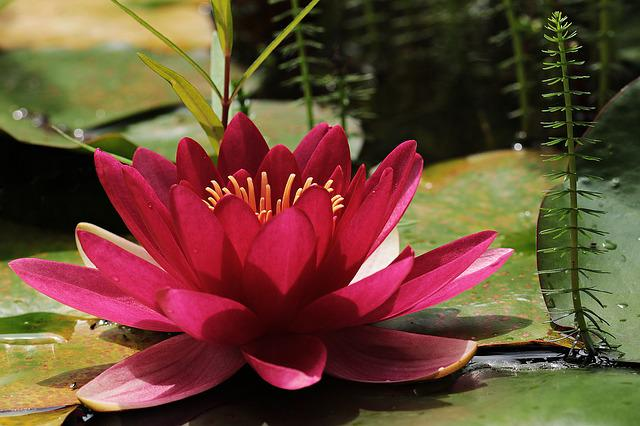 Water Lily, Red, Pond, Flower, Bloom, Plant