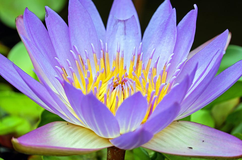 Water Lily, Flower, Bloom, Purple, Aquatic Plant