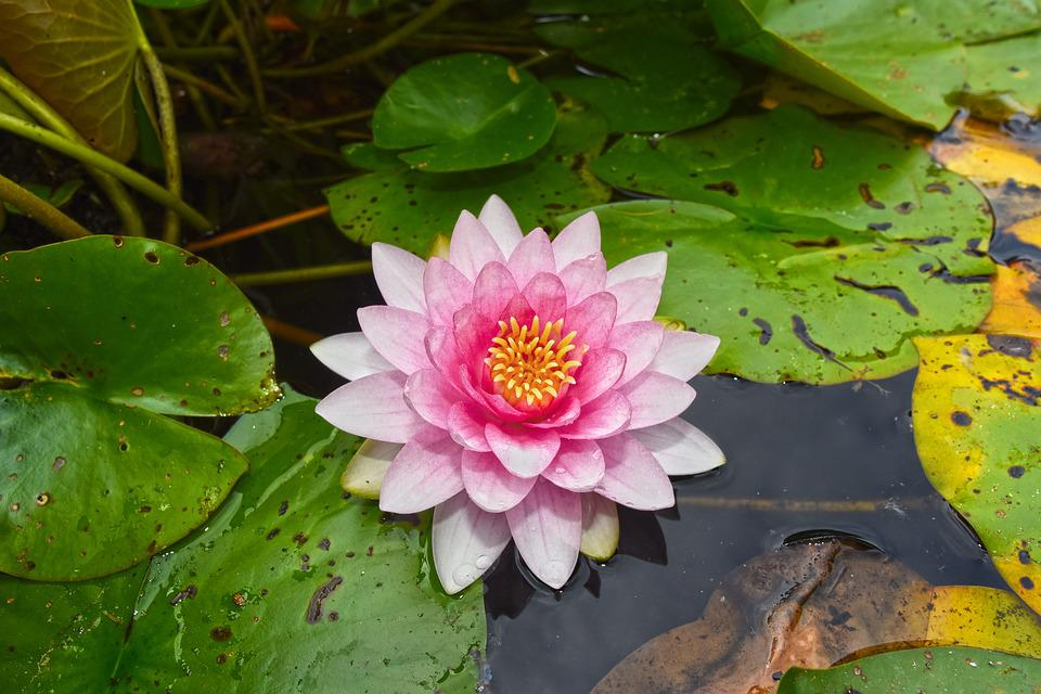 Water Lily, Aquatic Herb, Plant, Flower, Lily Pads