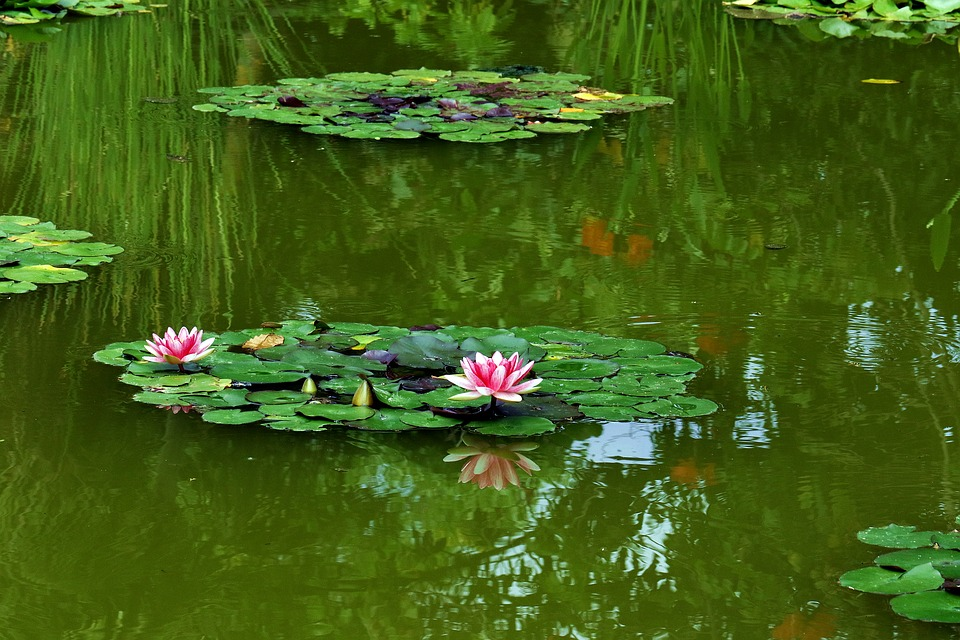 Water Lily, Pond, Green, Water, Foliage, Reflection