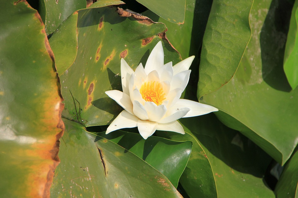 Water Lily, Lotus, Lake, Lily, Water, White
