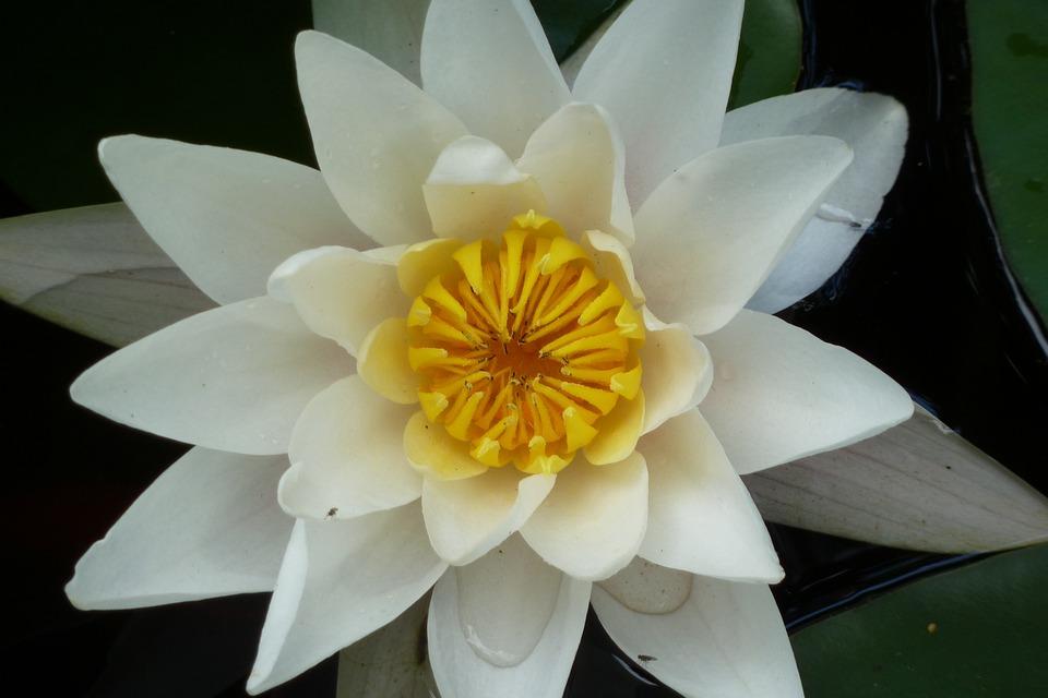 Lotus, Water Lily