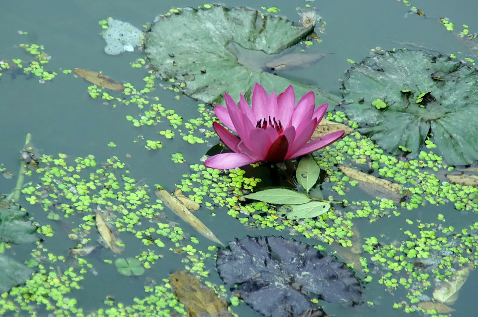 Water Lily, Pink, Water, Flower, Aquatic, Lenses, Mare