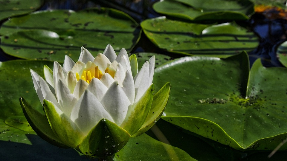 Water Lily, Flower, Flower Water, Nature, Lily