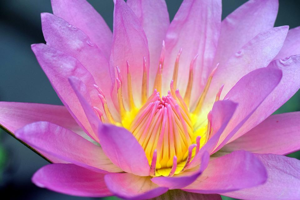 Nuphar Lutea, Water Lily, Aquatic Plant, Nature