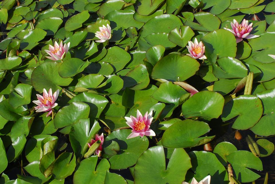 Flower, Leaf, Plant, Nature, Puddle, Water Lily