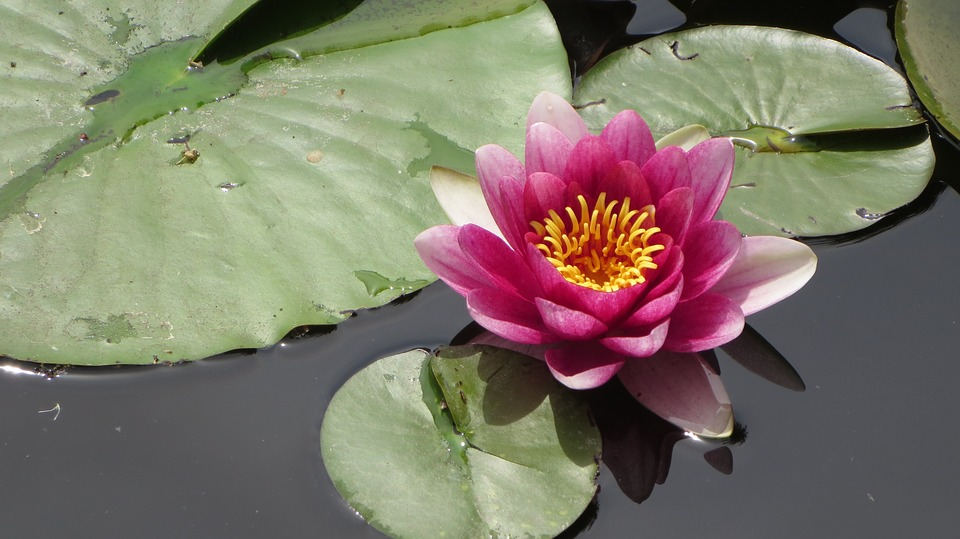 Water Lily, Pond