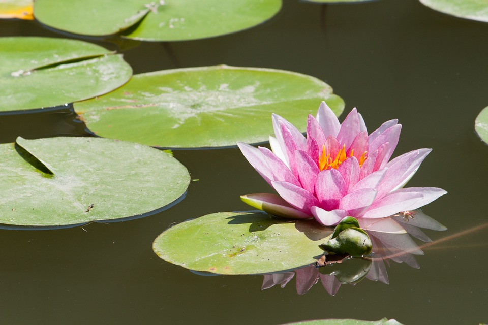 Water Lily, Lake, Lotus, Flower, Pond, Natural, Beauty