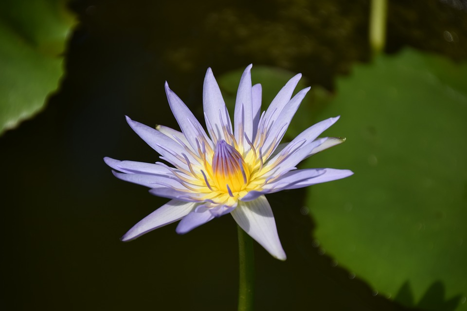 Lily, Flower, Water Flower, Water Lily, Pond, Lotus