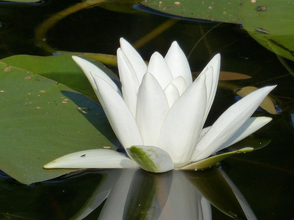 Water Lily, White, Leaf, Water, Dust, Summer, Flower