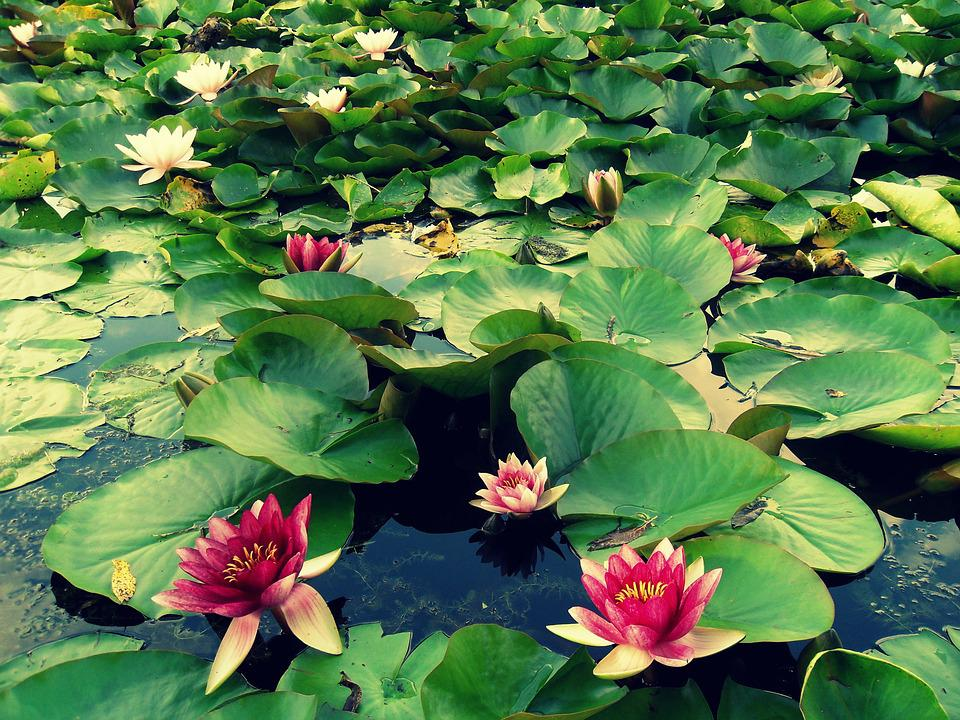 Lily, Water, Macro, Plant, Flower, Nature