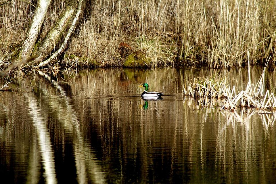 Mallard, Lake, Ducks, Water, Bird, Swim, Waterfowl