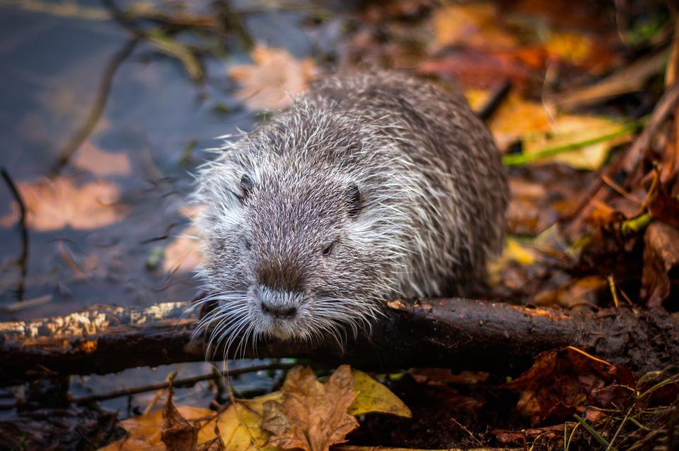 Muskrat, Lake, Rodent, Animal, Water, Nager, Nature