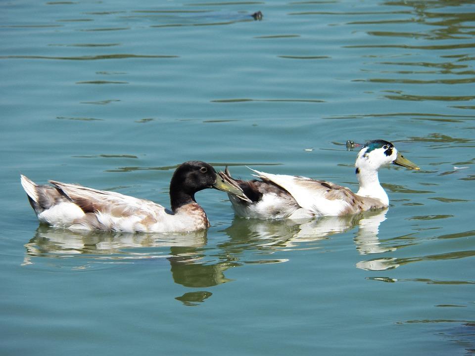 Bird, Water, Pond, Wild, Wildlife, Blue, Duck, Natural