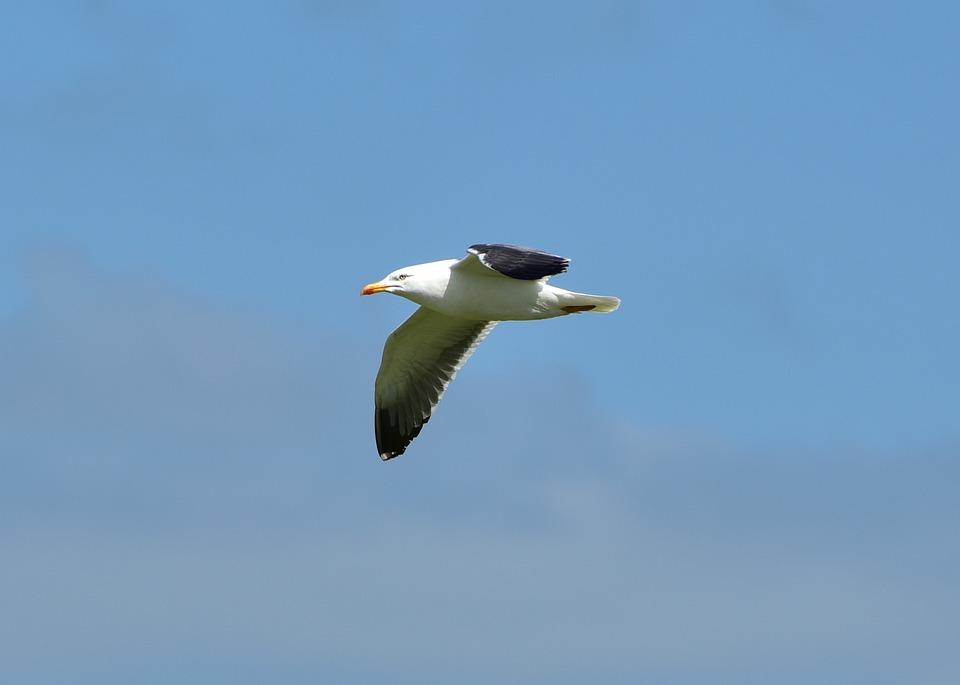 Seagull, Sea, Bird, Water, Animal, Wind, Nature, Blue