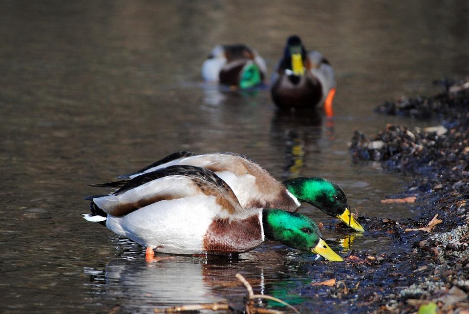 Duck, Water, Lake, Nature, Bird, Bath, Feeding, Eating