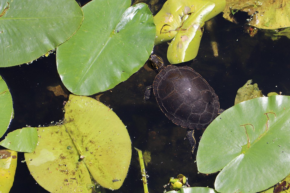 Turtle, Lily Pad, Pond, Plant, Nature, Petal, Water