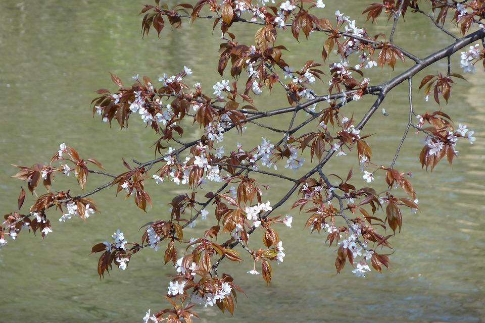 Flowers, Spring, Tree, Cherry, Lake, Water, Nature