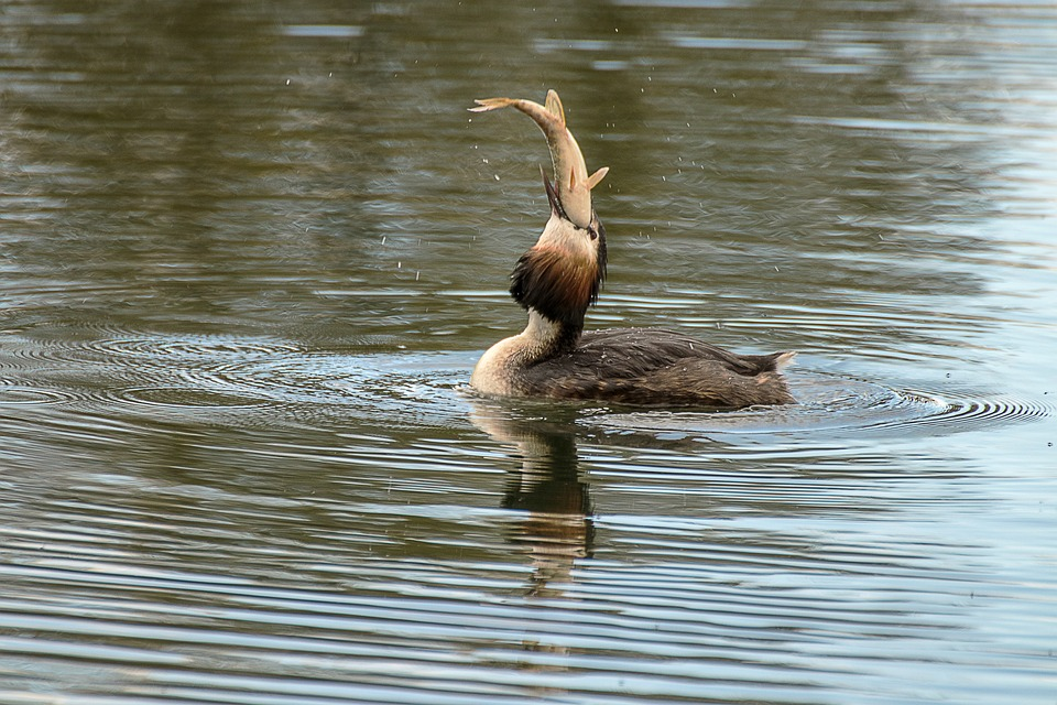 Great Crested Grebe, Fishing, Water, Nature, Waters