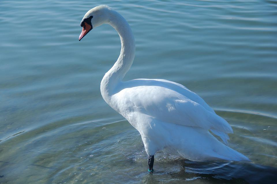 Bird, Water, Nature, Outdoors, Feather, White Swan, Zoo