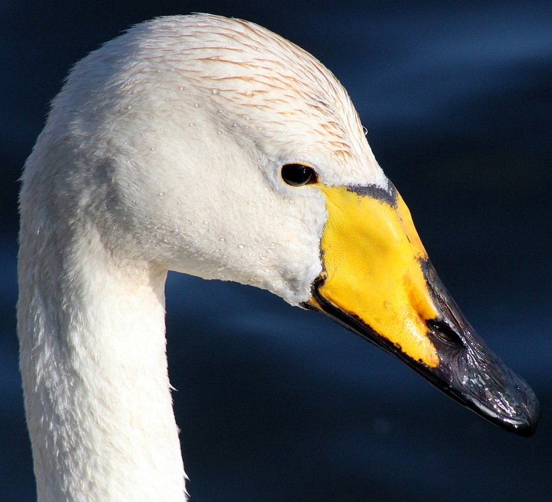 Whooper Swan, Bird, Water, Nature, Outside, Beautiful