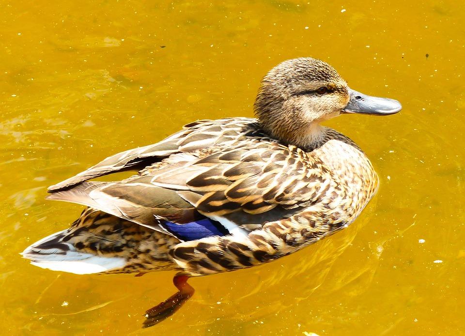 Mallard Duck, Female, Water Bird, Pond, Water Park