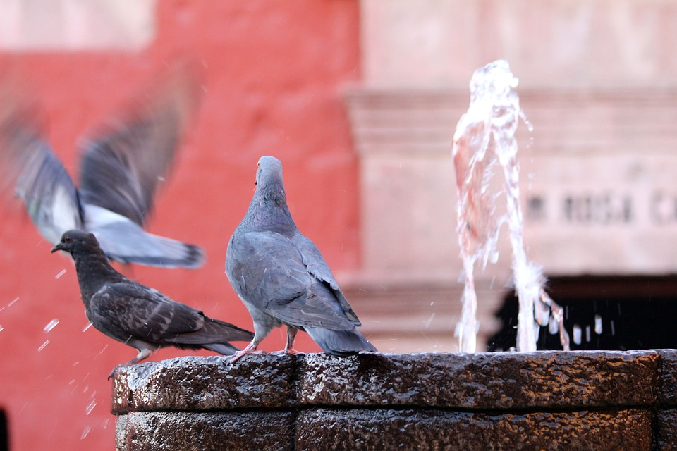 Pigeon, Water, Fountain, Drink, Red, Plumage, Pigeons