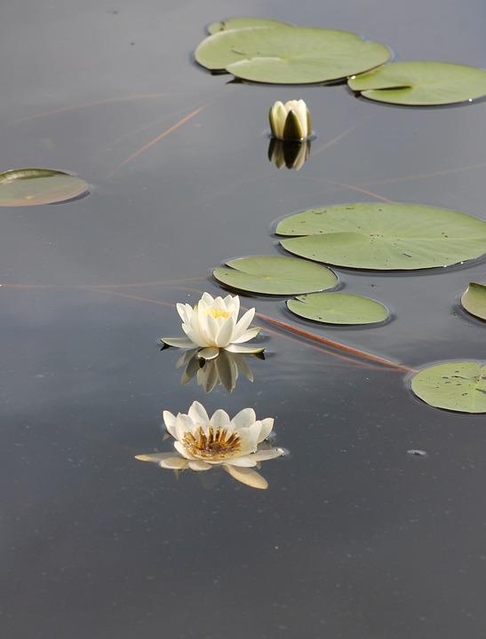 Waterlily, Kelluvalehtinen, Water Plant