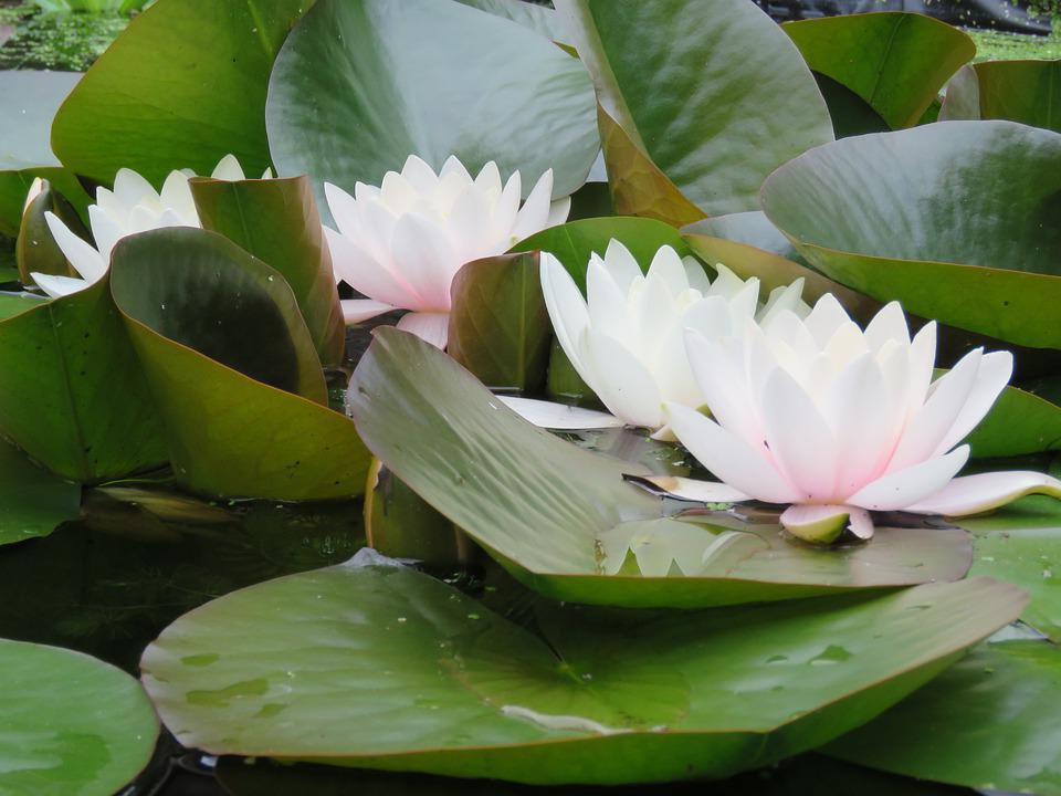 Water Lily, Pond, Leaves, Flower, Water Plant, Blossom