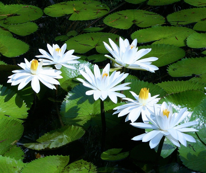 Water, Lilies, White, Water Plants, Water Lily, Green