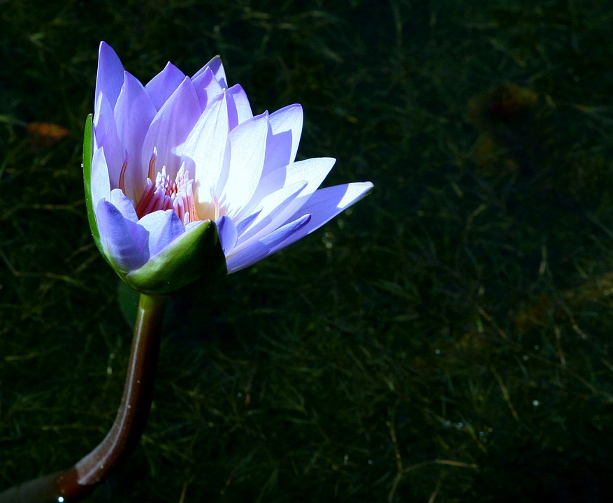 Water Lily, Water, Plants, Blossoms, Lilies, White