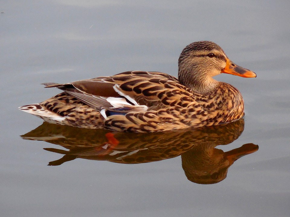 Duck, Water, Pond, Nature
