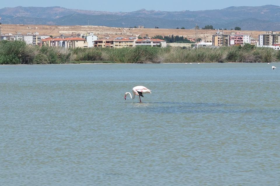 Flamingo, Saline, Quartu Sant'elena, Sardinia, Water